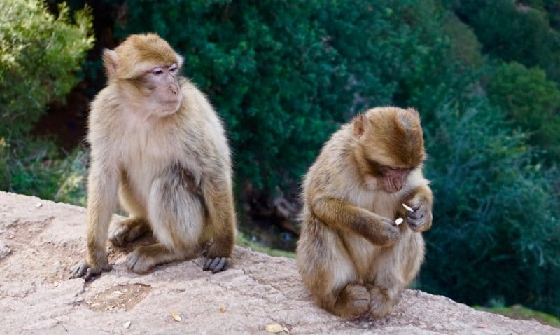 Two monkeys sat about half a metre away from each other. One has his back turned slightly and is eating an almond. The other is watching over its shoulder.
