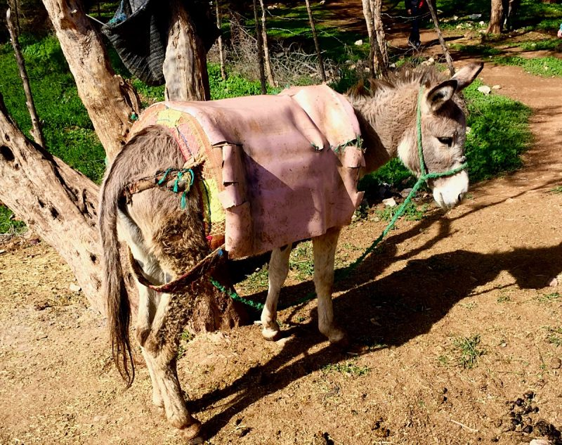 Donkey with a pink blanket like saddle tethered to a tree