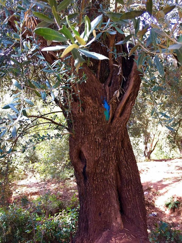 Trunk of olive tree with blue and green coloured marking on the bark