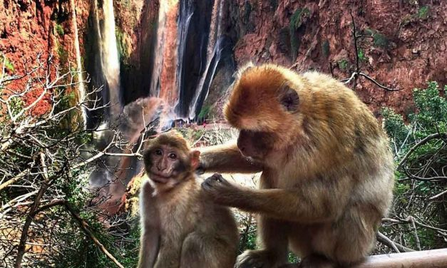 Ouzoud Falls Monkeys: Chocolate Waterfalls and Barbary Apes