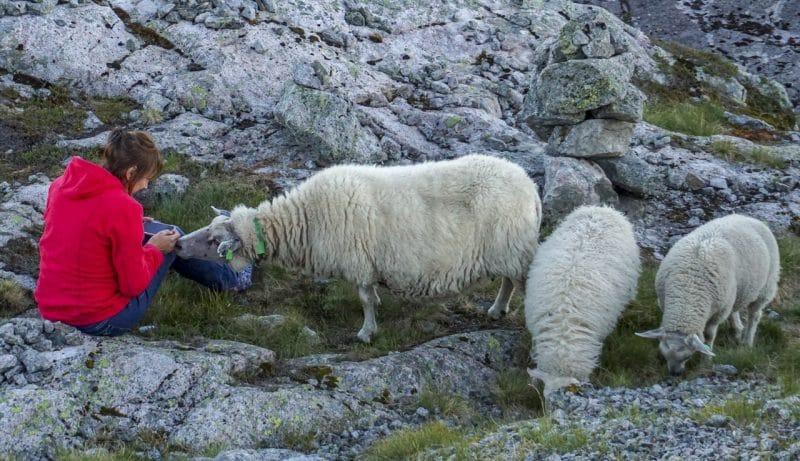 Befriending the local sheep near kjeragbolten