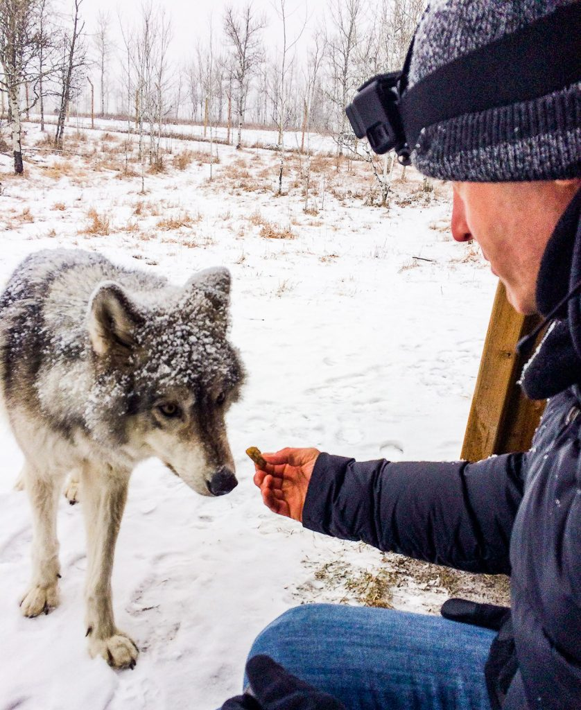 Lars dressed in blue jeans and black jacket is hand feeding a wolfdog at Yamnuska Sanctuary. There is snow on the ground.