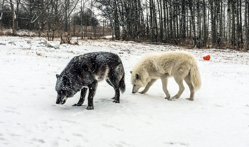 A black and a white wolfdog in the snow.