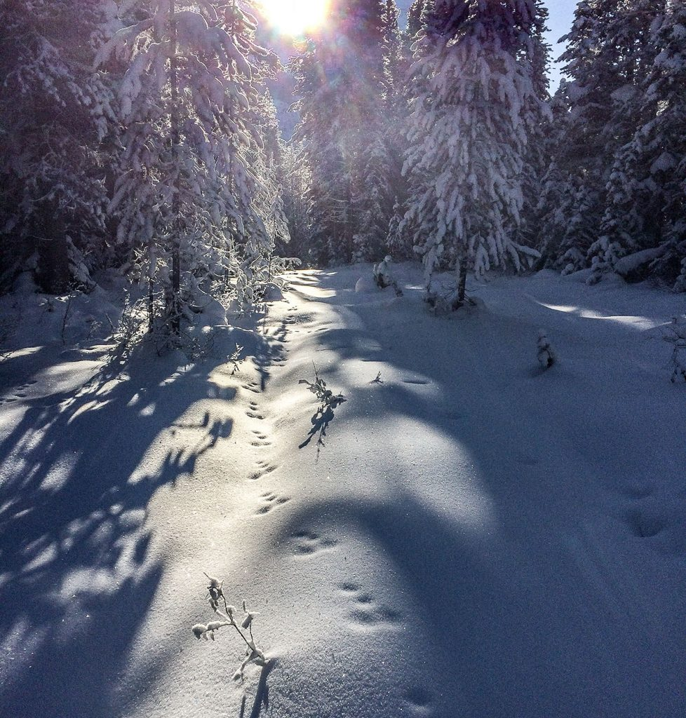White snow with an animals footprint in the snow with a path leading through the pine trees and the sun is streaming through.