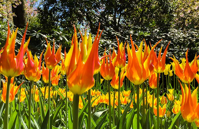 red and yellow tulips at keukenhof holland