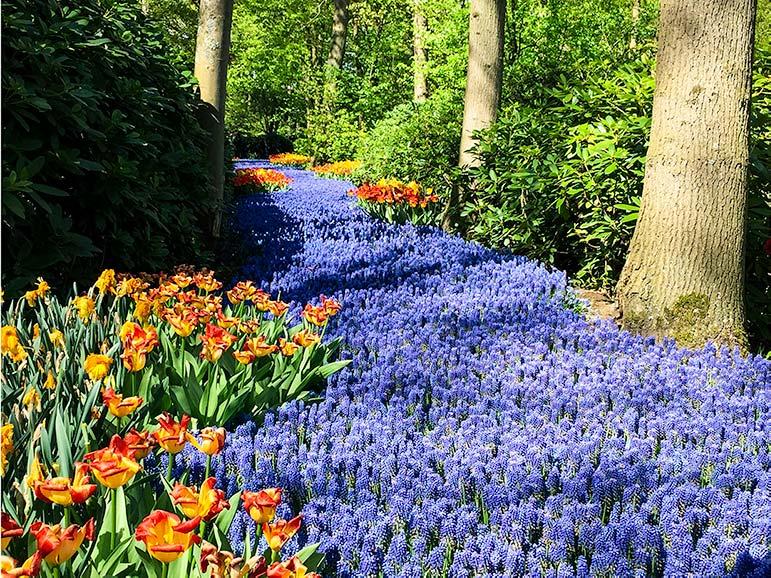 Keukenhof holland blue muscari path with orange tulips on the side