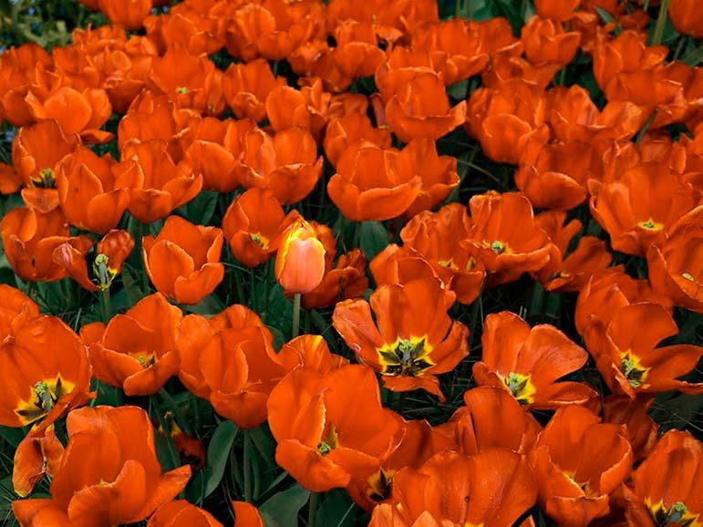 red tulips keukenhof