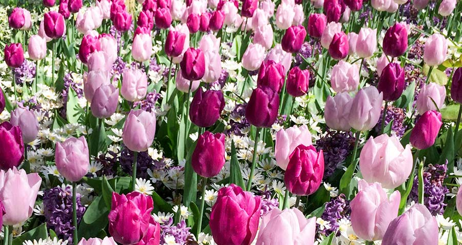 pink and purple tulips at keukenhof holland