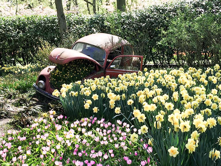 Old car with daffodils growing out of the bonnet in a field of flowers