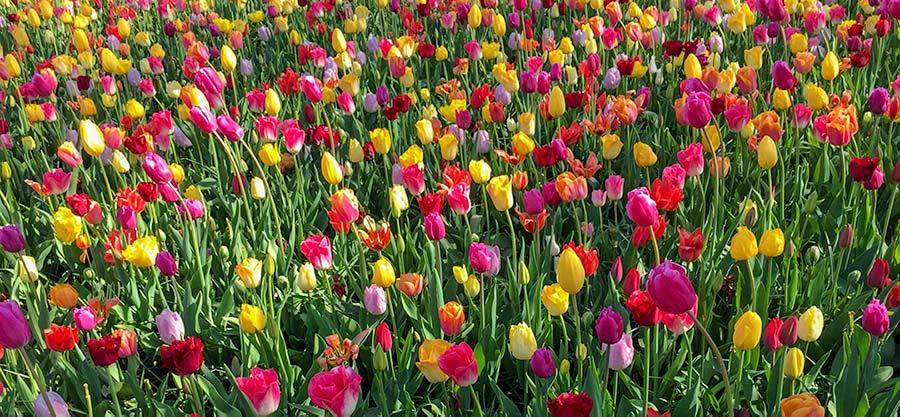 keukenhof gardens holland - multi coloured tulips