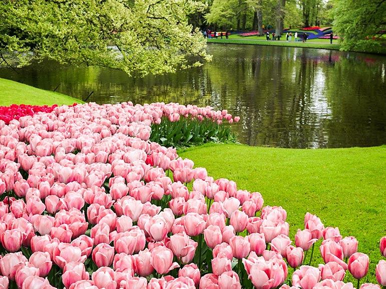Keukenhof holland pink tulips by lake