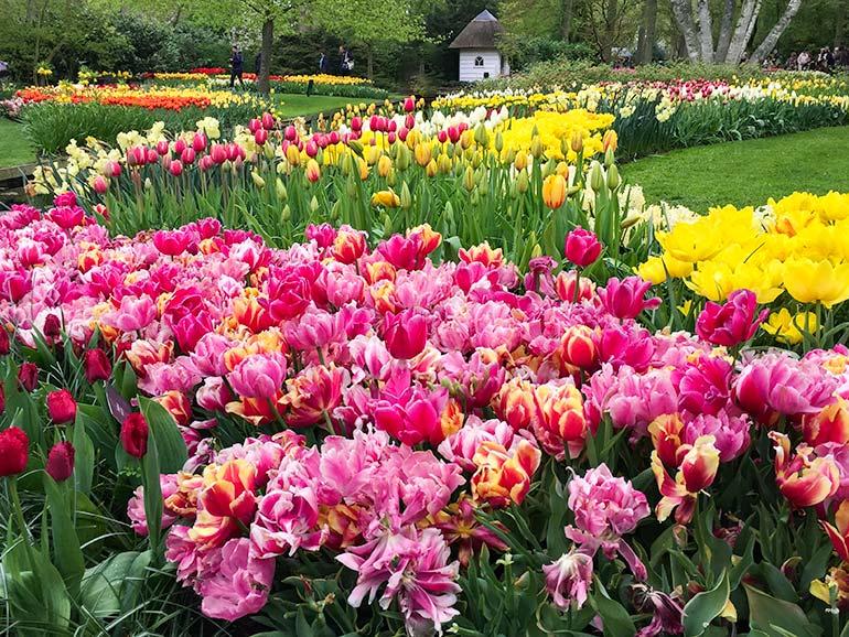 Keukenhof holland tulips