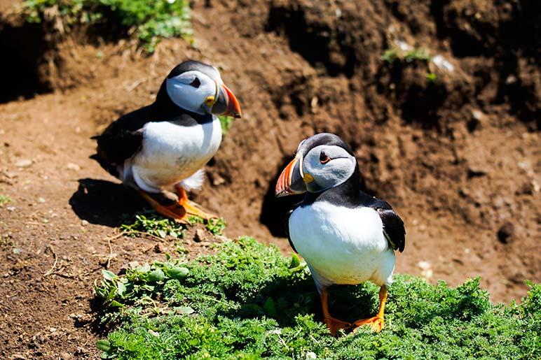 Puffins in field on Skomer Island Wales - highlight of our weekend in Pembrokeshire
