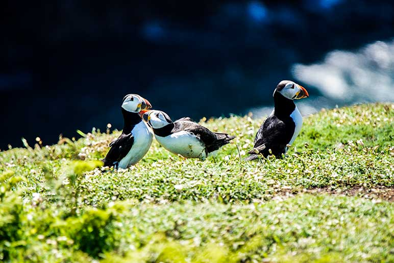 Puffins on Skomer Island in Wales