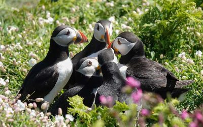 Skomer Island Puffins, Wales (with Video)