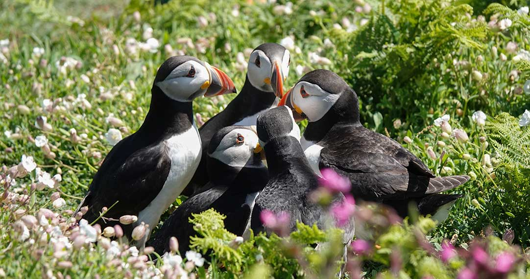 Skomer Island Puffins: Everything you need to Know (inc. Videos)