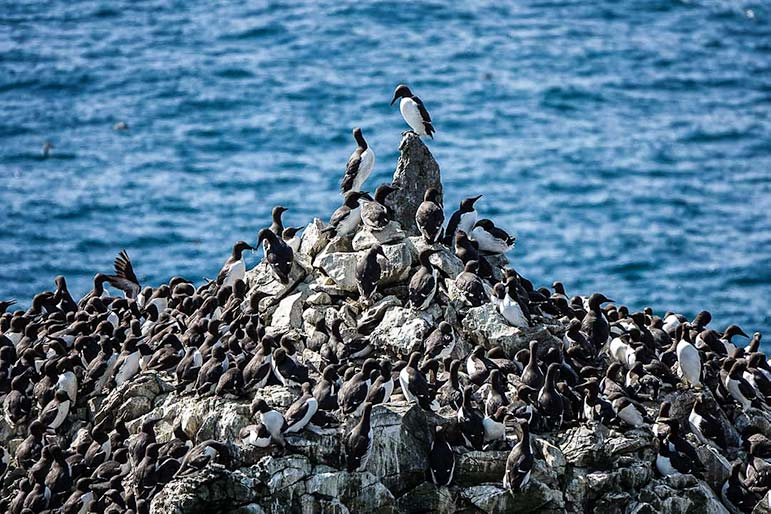 Thousands of guillemots on top of the Rock Stacks in Wales