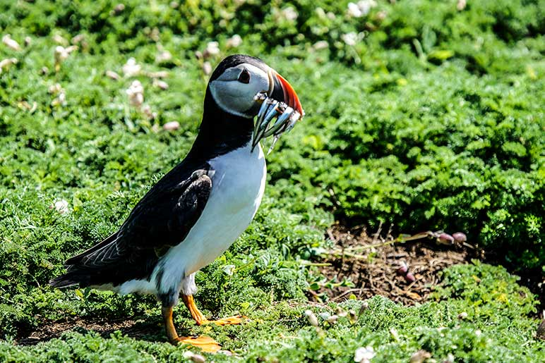 Puffin with sand eels in its mouth on Skomer Island, Wales