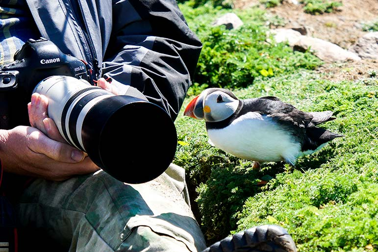 Puffin pecking at a camera on Skomer Island