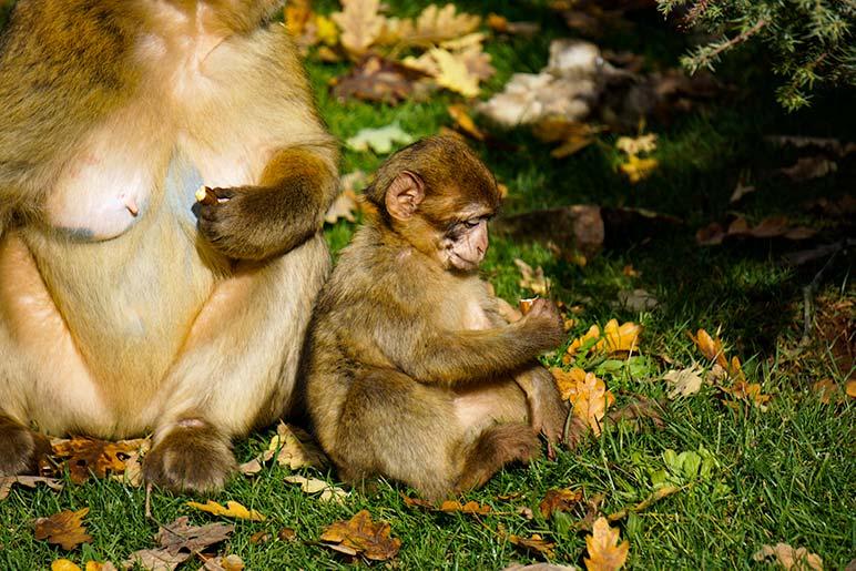 Baby monkey sat beside mum monkey eating acorns at monkey forest Rocamadour