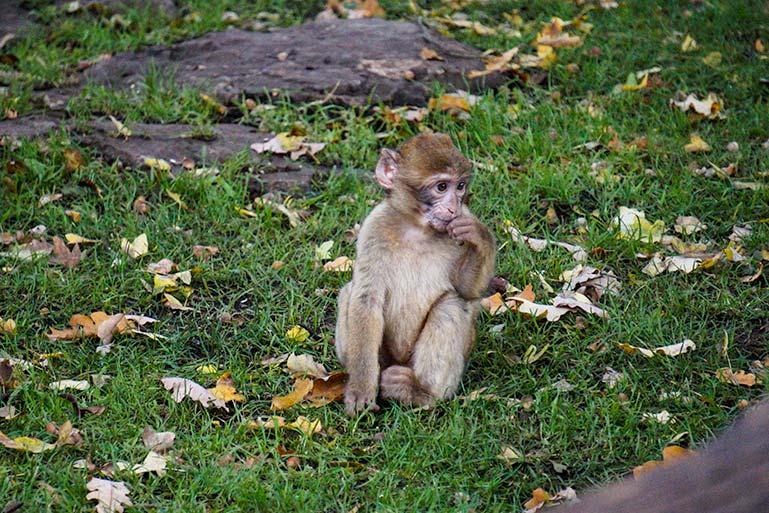 Baby monkey at foret des singes