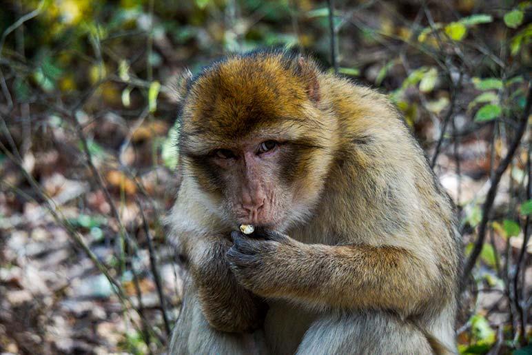 Monkey eating a piece of popcorn at foret des singes