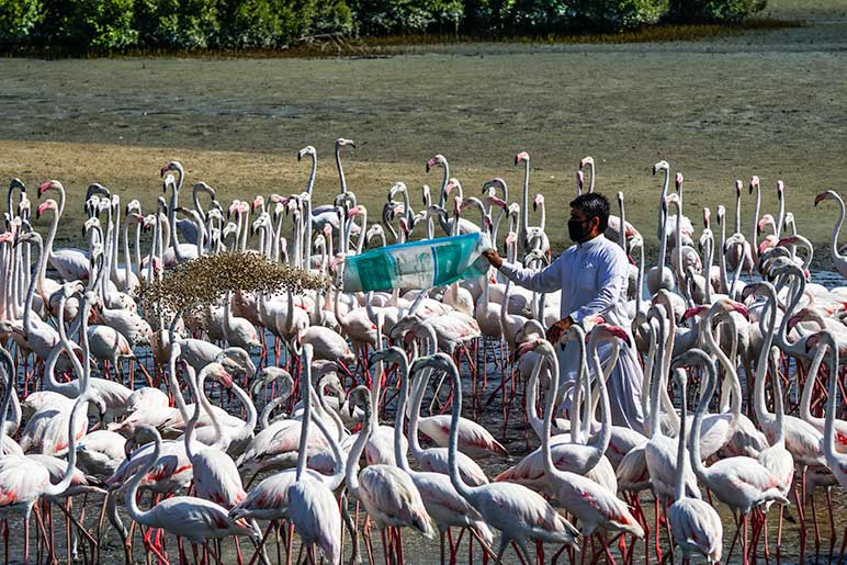 Feeding time at Ras Al Khor is the best time to see the flamingos en-masse