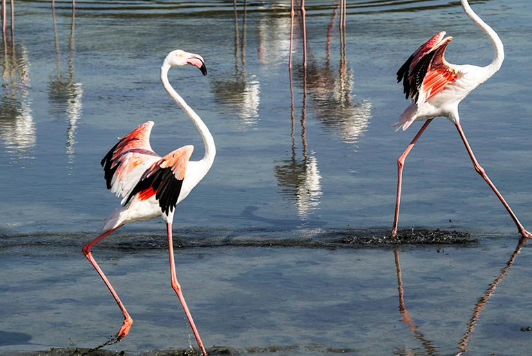 The Greater Flamingos have bright pink legs and wings