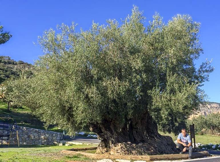 Koutroufa Olive Tree