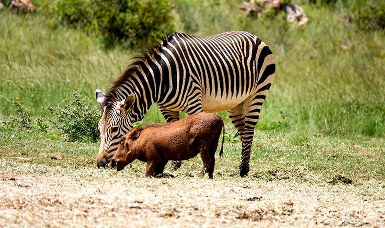 Hartman's zebra and warthog at the Rhino and Lion Park