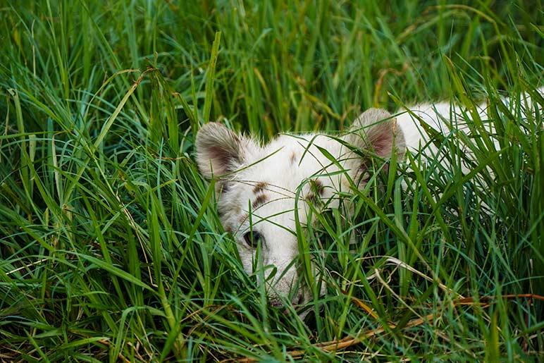 white tiger cub peeking through grass