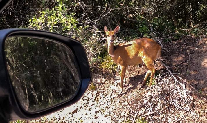 Deer on the side of the road while driving in South Africa
