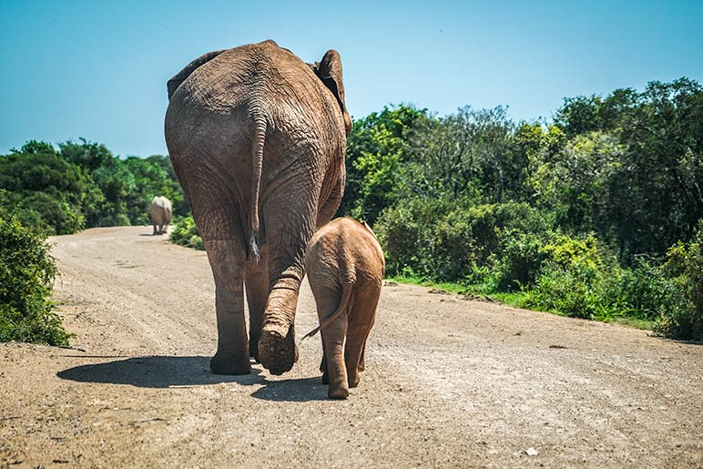 Two elephants on the gravel road in South Africa Nature Reserve