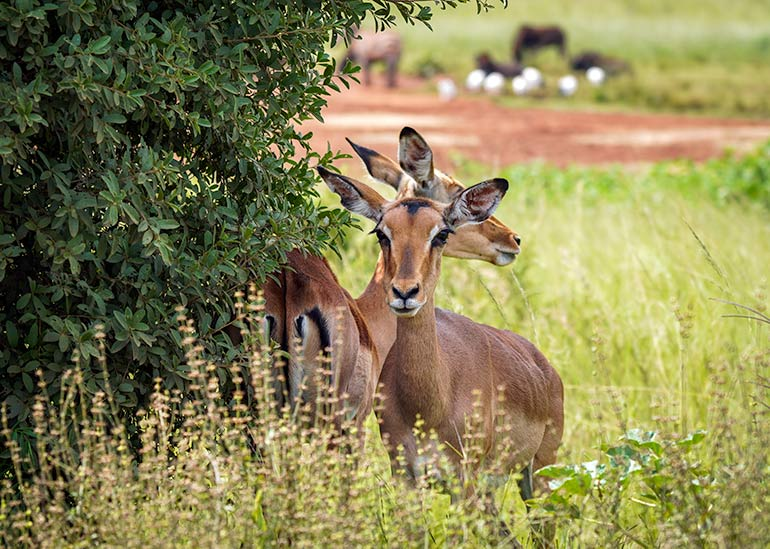 Two impala (deer like looking animals) at the Rhino and Lion Park