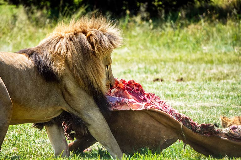 Lion in the Predator Camp at the Rhino and Lion nature reserve Johannesburg. The lion is tearing off a chunk of meat from a dead animal.