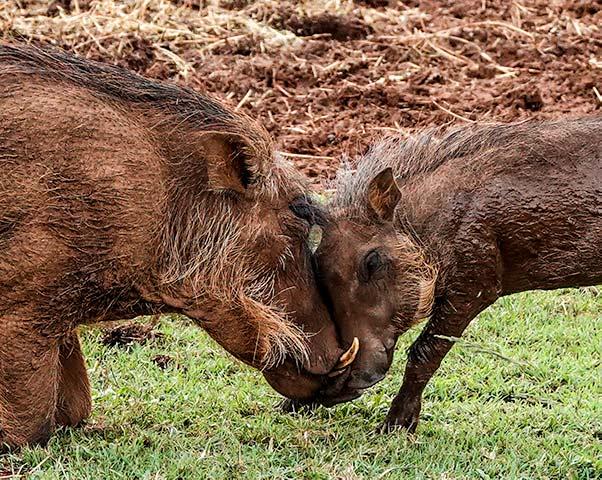 Mum and baby warthog at the Rhino and Lion Park Johannesburg