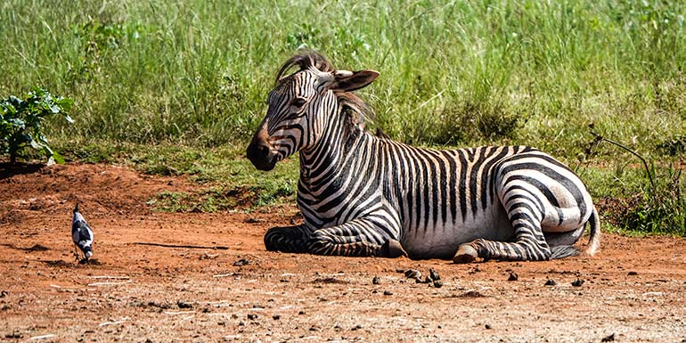 Baby Zebra and bird at the Rhino and Lion Nature Reserve