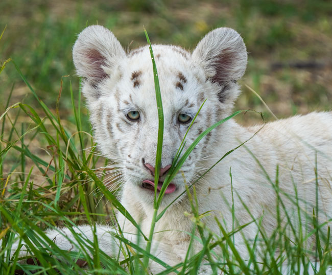 white lion cub hiding in long green grass - African Wildlife Photography
