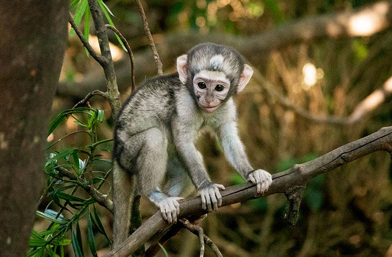 Baby vervet monkey