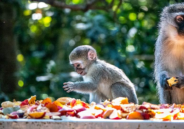Baby vervet monkey at monkeyland Plettenberg Bay