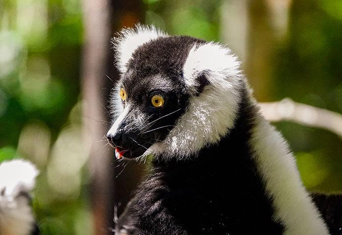 black and white Ruffed Lemur at Monkeyland Plettenberg Bay