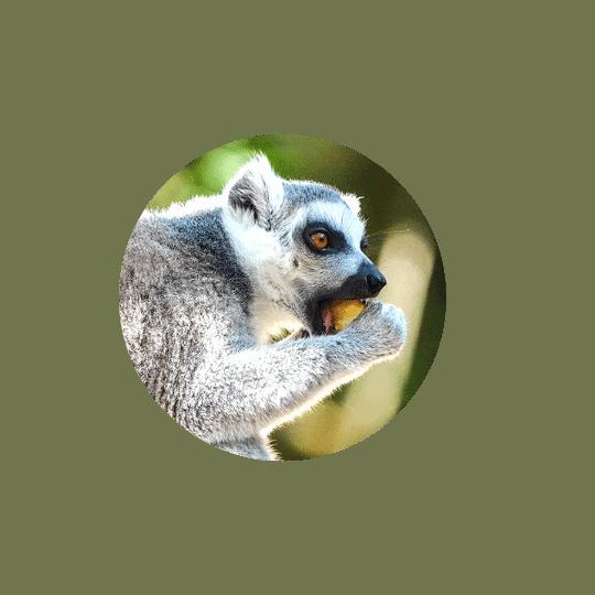 Monkeyland Plettenberg Bay ringtailed lemur