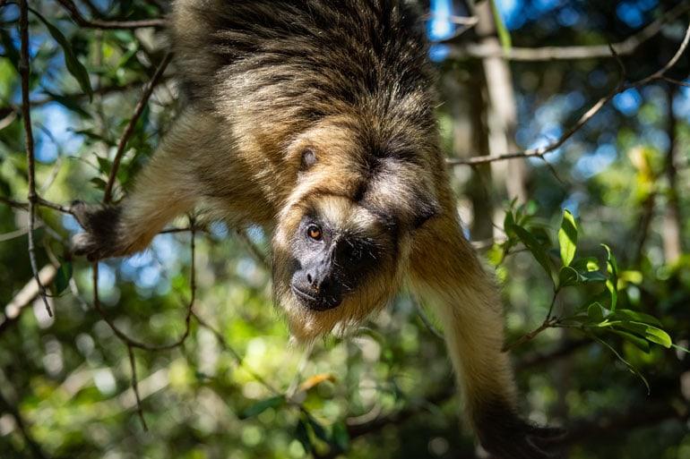 Howler monkey hanging upside down