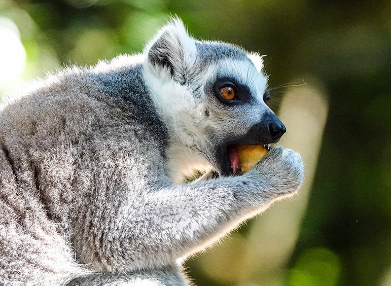 ringtail lemur at monkeyland plettenberg bay
