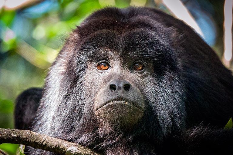 Black Howler Monkey at Monkeyland Plettenberg Bay