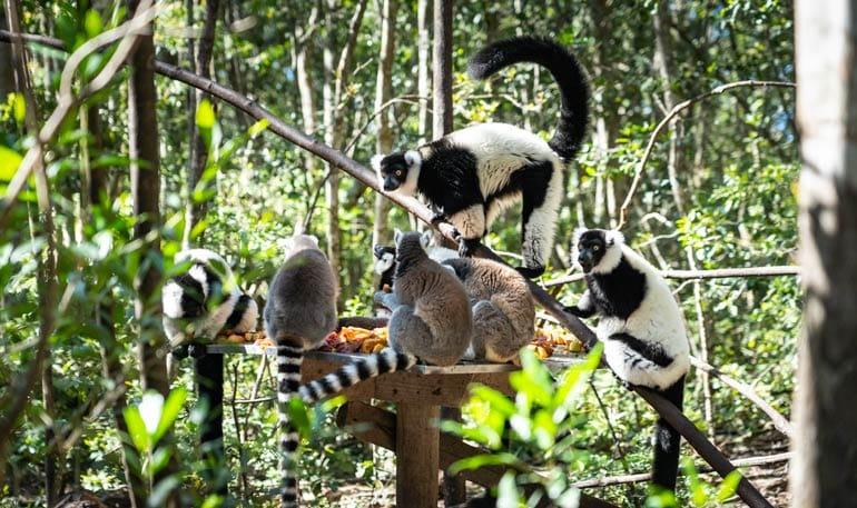 Lemurs feeding at the fruit station