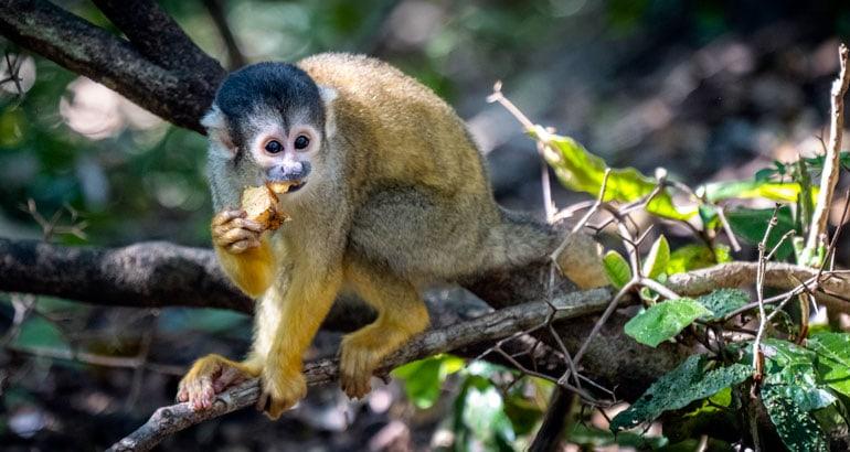 Squirrel Monkey at Monkeyland Plettenberg Bay