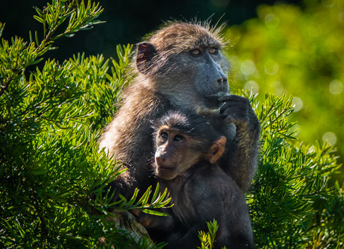 Mum and baby baboon having a cuddle