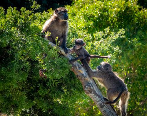 three baboons on a tree