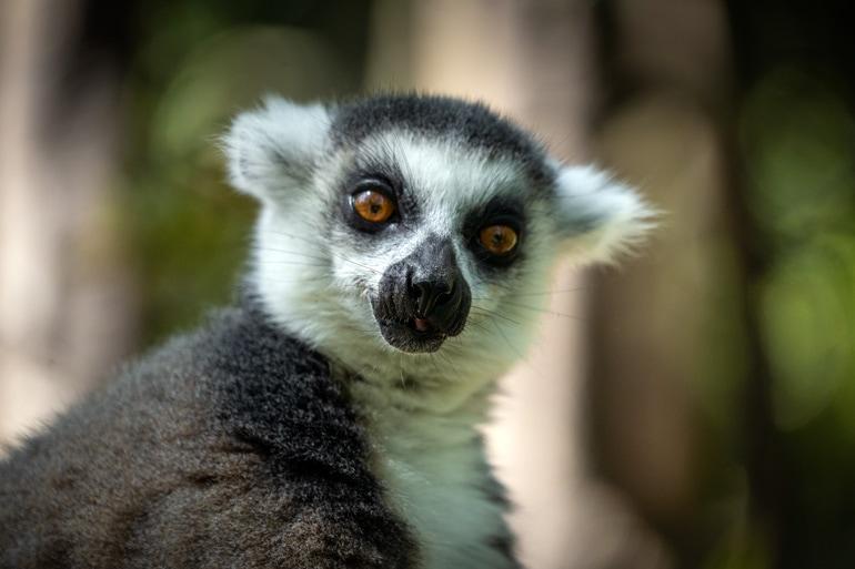 close up of lemur